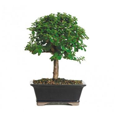 dwarf_jade_indoor_bonsai_tree