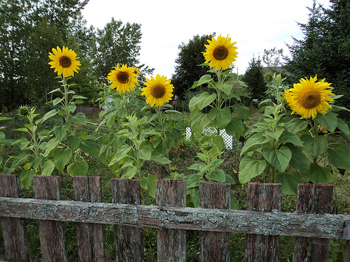 Sunflower Garden. Is Your Garden Environmentally Friendly?
