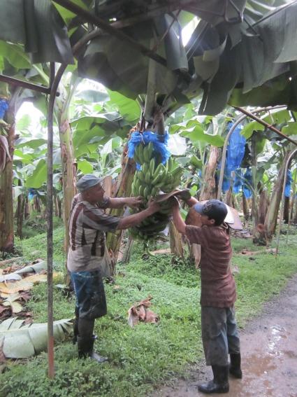 Men harvesting bananas / Family Focus Blog