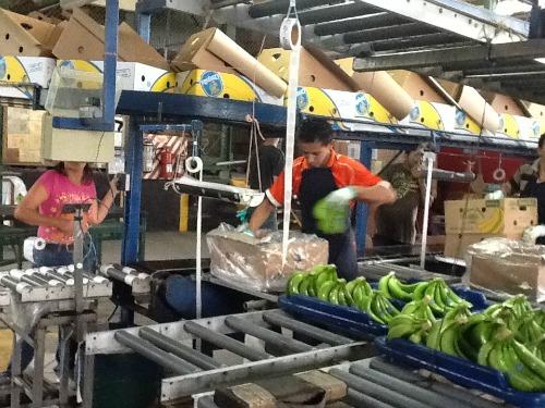 Packing bananas / Family Focus Blog