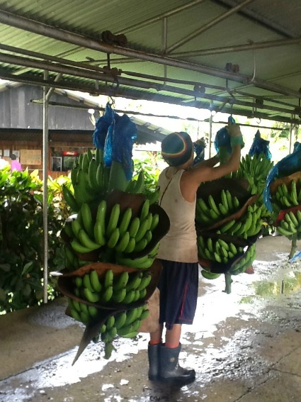 Rainforest Certified banana bunches / Family Focus Blog