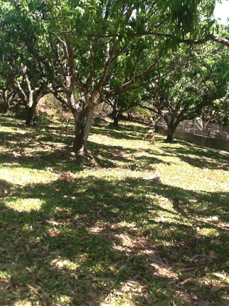 mango trees with ground cover
