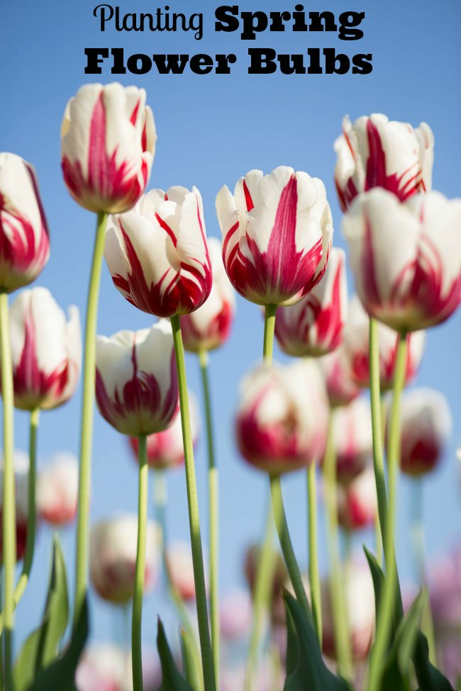 planting spring flower bulbs