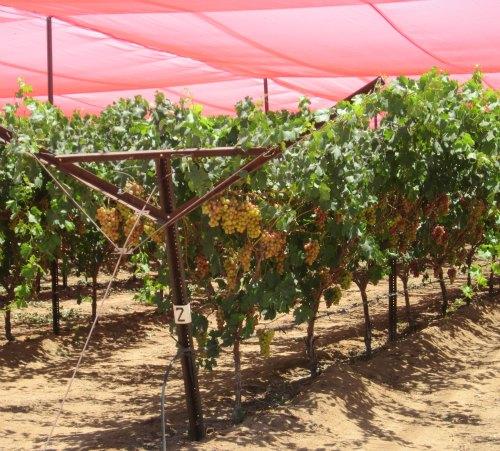groupo alta fair trade grapes under shade net