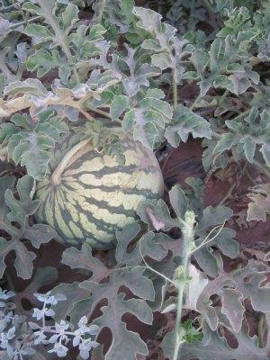 groupo alta watermelon in field
