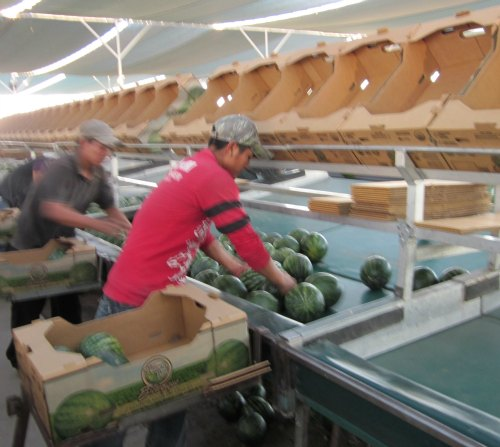 packing groupo alta fair trade watermelons