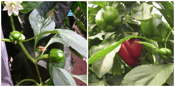 Bell Peppers From Flower To Ripe Pepper