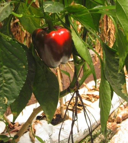 bell pepper grown in organic soil bags