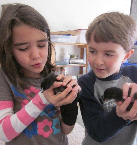 cute black star chicks farm animals