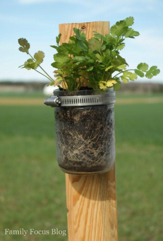 planting herbs in mason jars