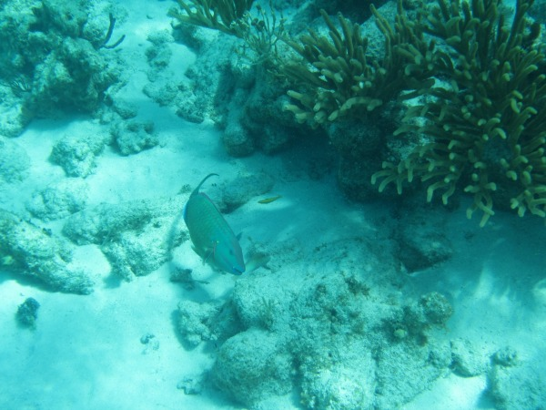 parrotfish grand caymans