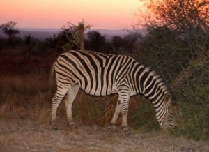 Kruger Park night game-drive