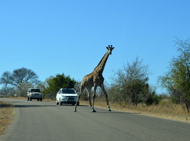 giraffe Kruger Park South Africa