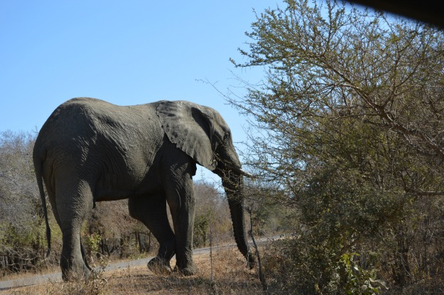 African Elephant through my car window