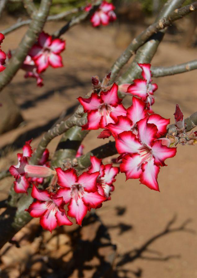 Impala Lily, Kruger Park