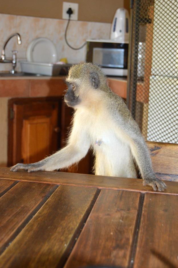 Kruger Monkey