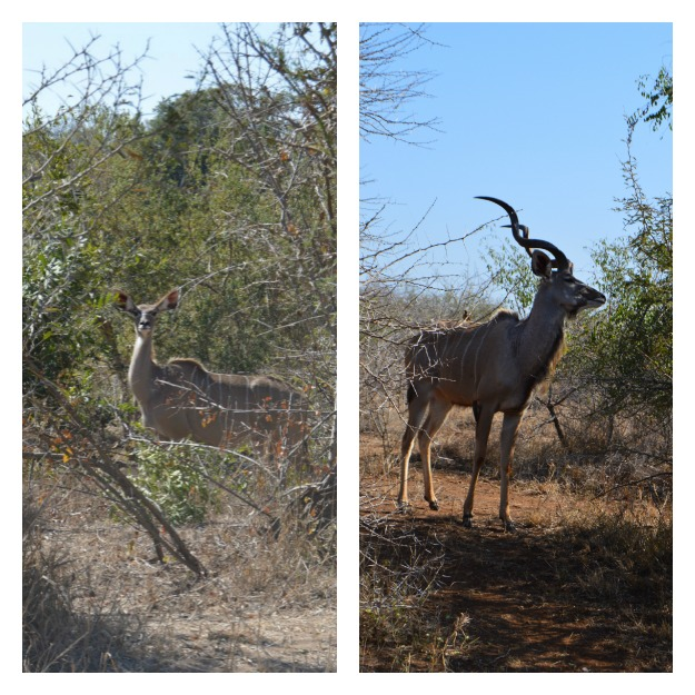 Kudu in Kruger