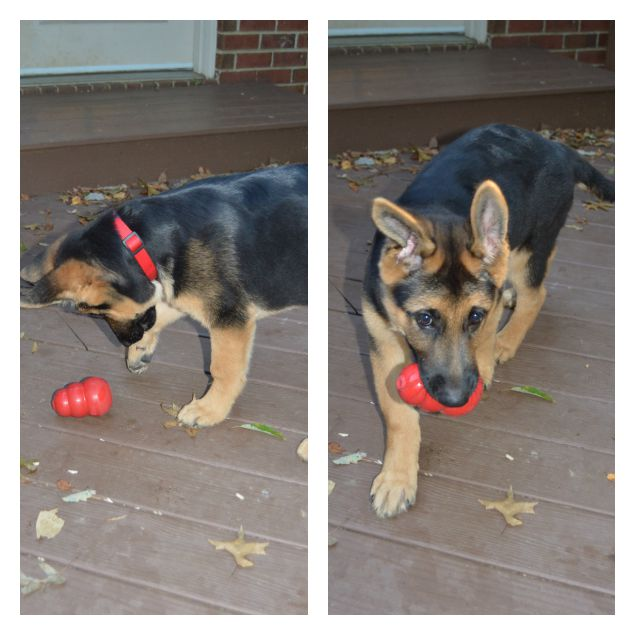 Puppy Plays With Kong Dog Toy
