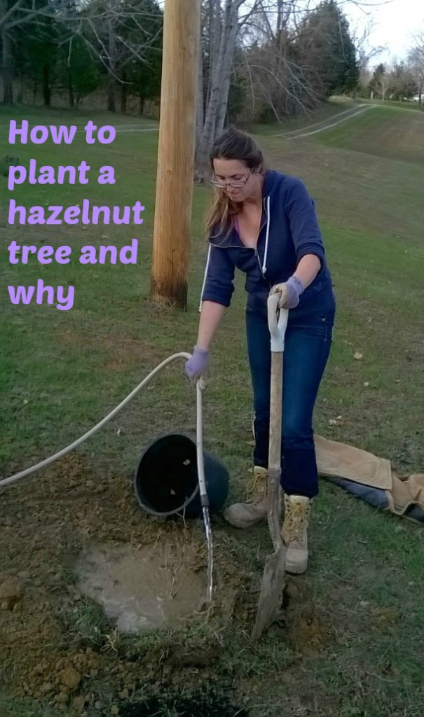 how to plant a hazelnut tree and why