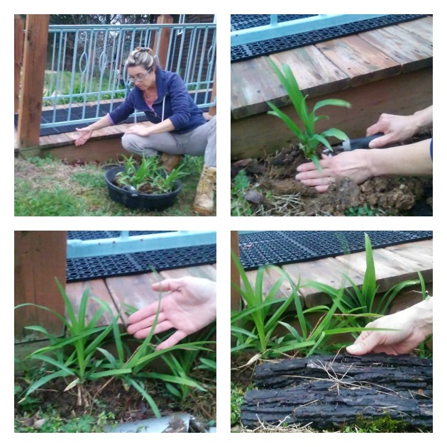 daylily plants edible landscaping