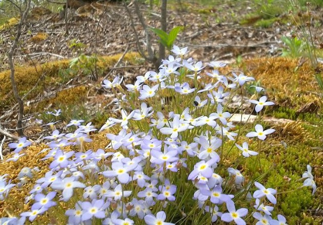 TINY BLUET - native plant wildlife garden