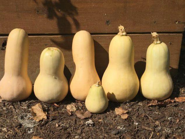 fall butternut squash garden harvest